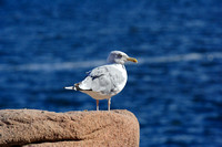 A Seagull at Thunder Hole
